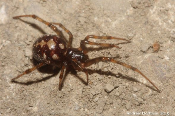 A female triangulate cobweb spider scurries across the floor of an old barn.